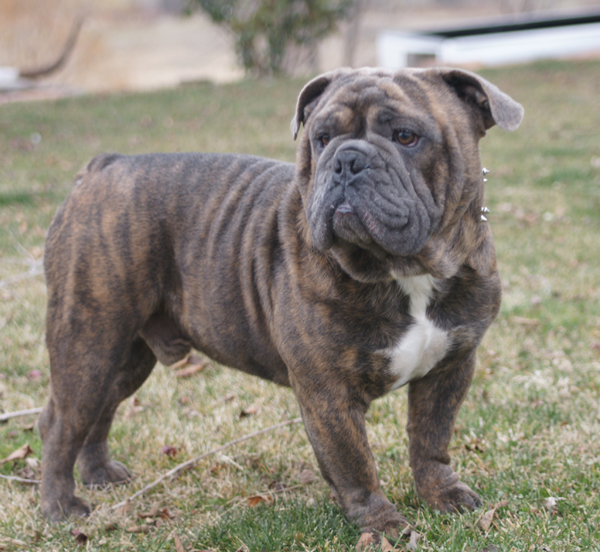 Blue old english bulldog puppies for sale
