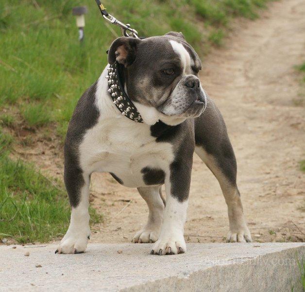 blue tri olde englsih bulldogge