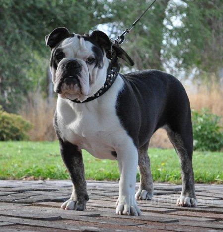 blue trindle olde english bulldogge