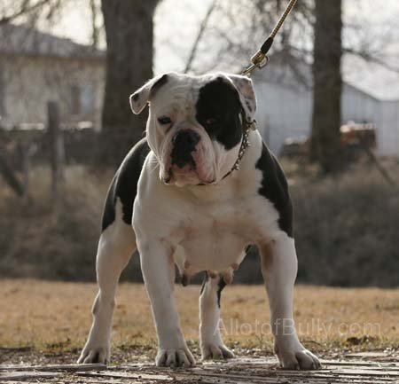 English bulldog by SMK