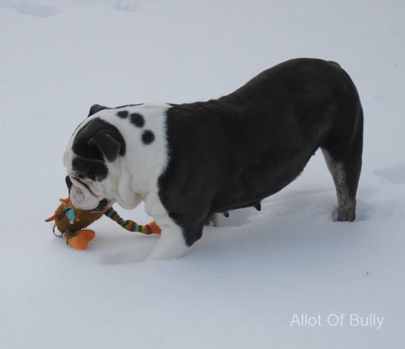 blue bulldogge