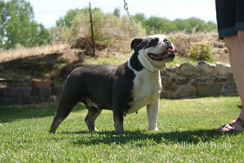 blue trindle bulldog