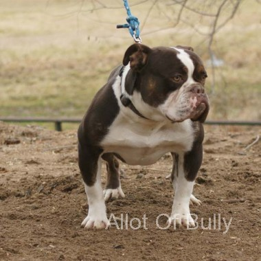 chocolate olde english bulldog