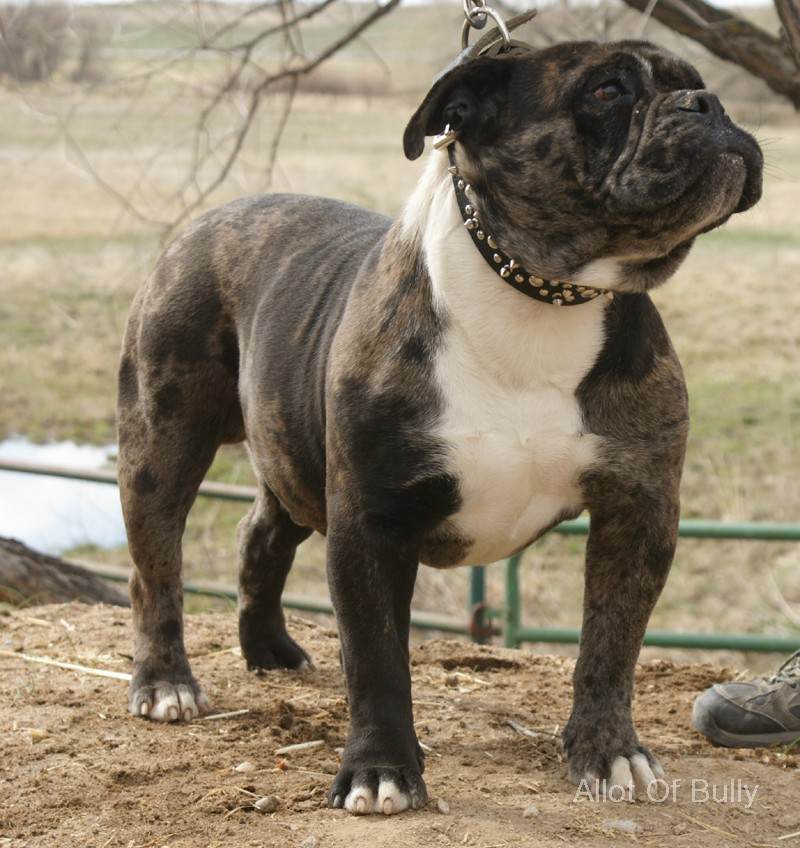 Diamond Dogges' Blue Merle Haggard - Allot Of BullyAllot ...
