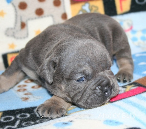 dark blue tri olde english bulldogge