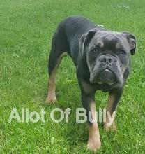 blue tri bulldog