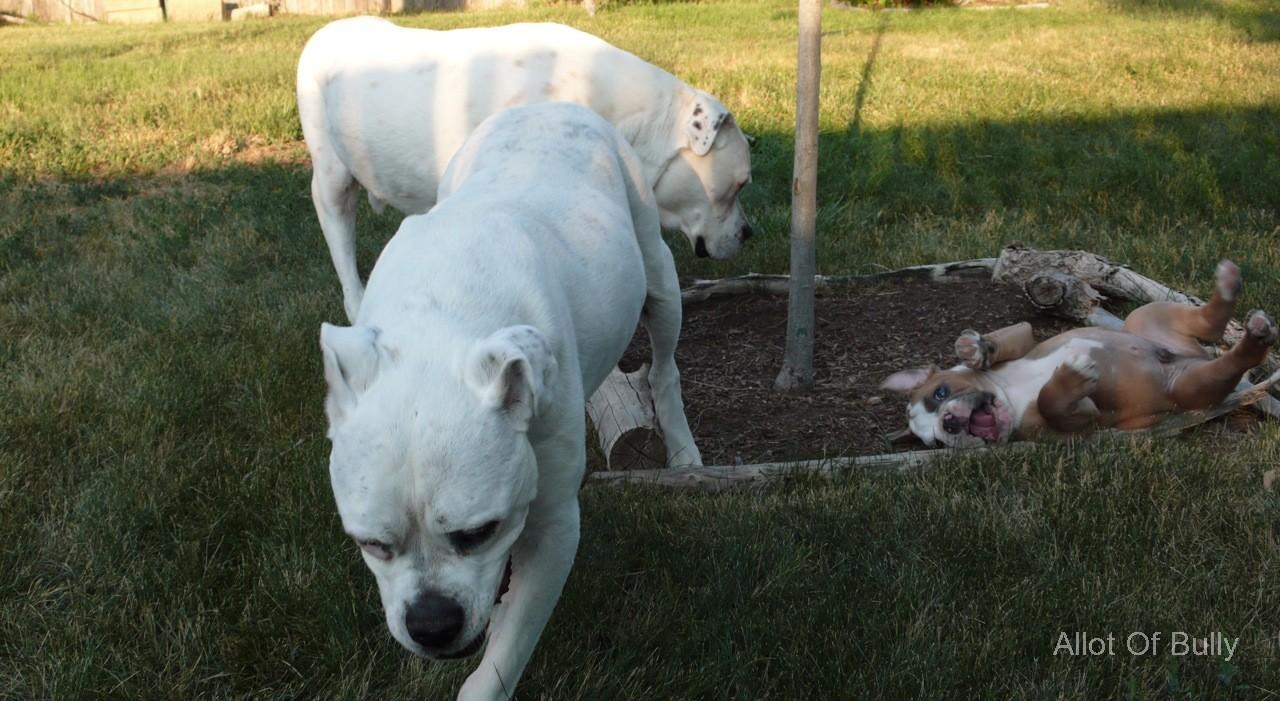 3Bulldogs