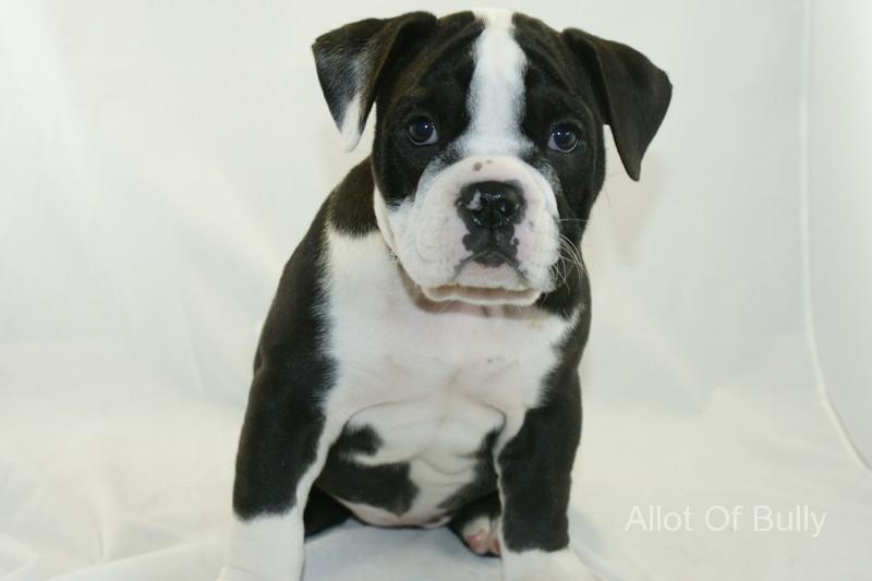 Black And White English Bulldog