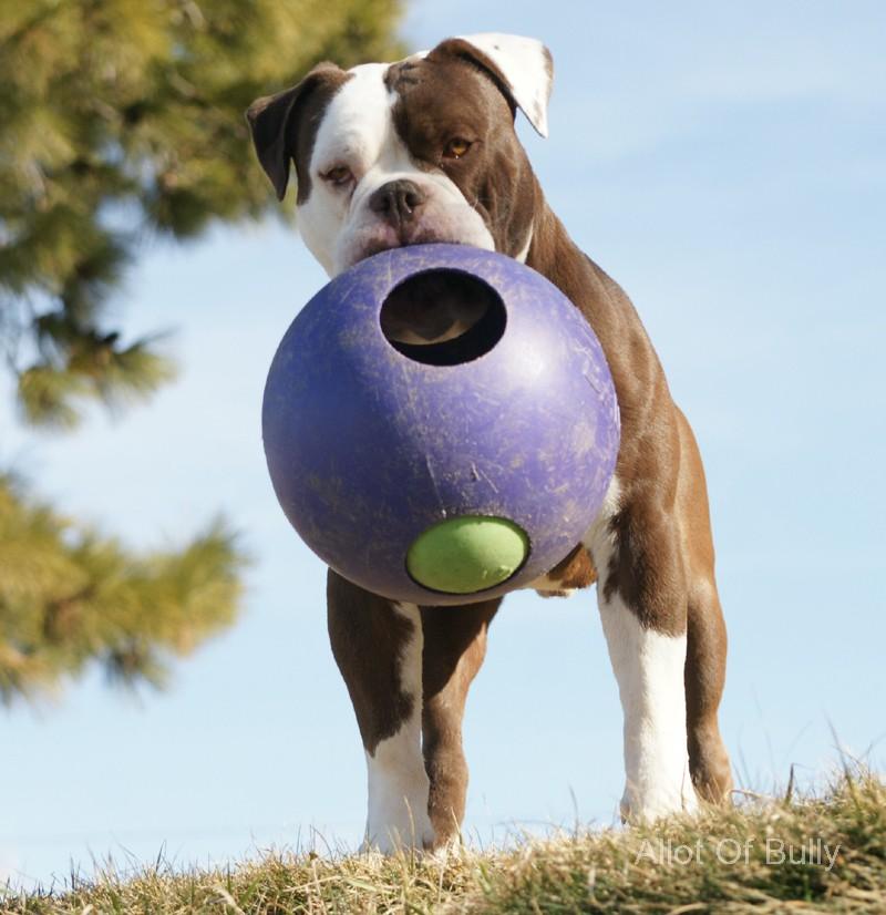 Buy Bulldog Puppyallot Of Bully Olde English Bulldogges